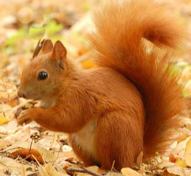Red Squirrel in the Stormont Estate
