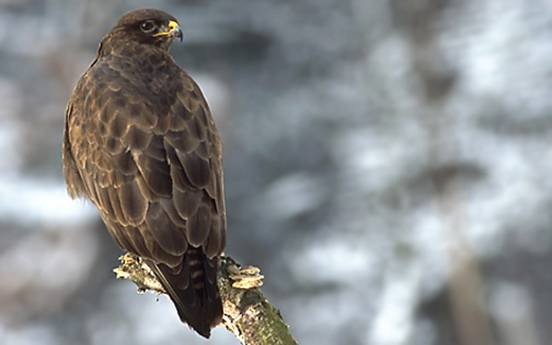 Stormont Estate - Birds, Buzzard